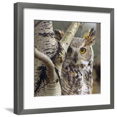 Great Horned Owl Pale From, British Columbia, Canada-Tim Fitzharris-Framed Photographic Print