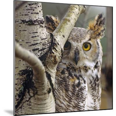 Great Horned Owl Pale From, British Columbia, Canada-Tim Fitzharris-Mounted Photographic Print