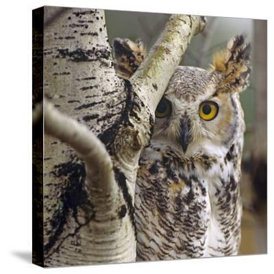 Great Horned Owl Pale From, British Columbia, Canada-Tim Fitzharris-Stretched Canvas Print