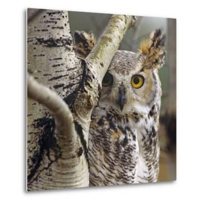 Great Horned Owl Pale From, British Columbia, Canada-Tim Fitzharris-Metal Print