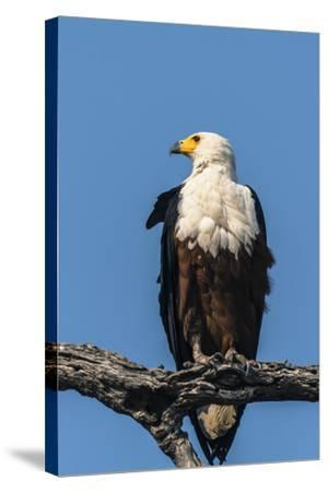 Botswana. Chobe National Park. African Fish Eagle Looks Out for a Meal-Inger Hogstrom-Stretched Canvas Print