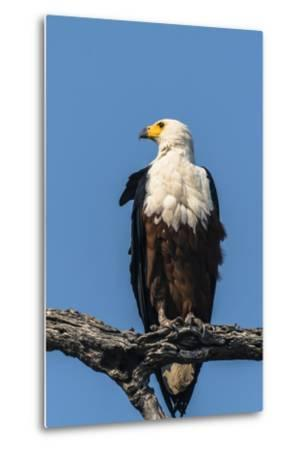 Botswana. Chobe National Park. African Fish Eagle Looks Out for a Meal-Inger Hogstrom-Metal Print