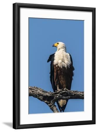 Botswana. Chobe National Park. African Fish Eagle Looks Out for a Meal-Inger Hogstrom-Framed Photographic Print