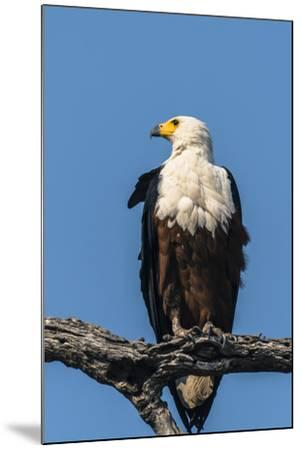 Botswana. Chobe National Park. African Fish Eagle Looks Out for a Meal-Inger Hogstrom-Mounted Photographic Print