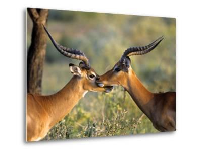 Two Impalas Standing Cheek to Cheek-John Alves-Metal Print