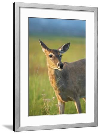 White-Tailed Deer Female, Wyoming, Usa-Tim Fitzharris-Framed Photographic Print