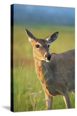 White-Tailed Deer Female, Wyoming, Usa-Tim Fitzharris-Stretched Canvas Print