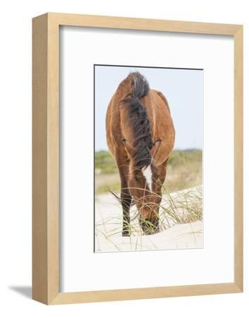 Wild Mustangs in Currituck National Wildlife Refuge, Corolla, Outer Banks, North Carolina-Michael DeFreitas-Framed Photographic Print