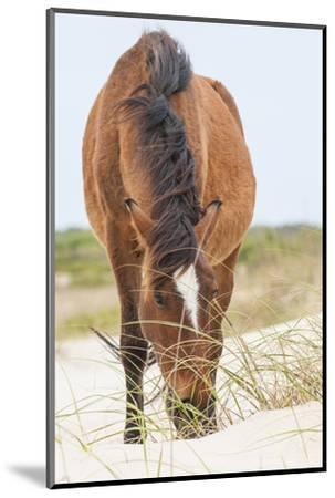 Wild Mustangs in Currituck National Wildlife Refuge, Corolla, Outer Banks, North Carolina-Michael DeFreitas-Mounted Photographic Print