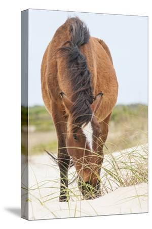 Wild Mustangs in Currituck National Wildlife Refuge, Corolla, Outer Banks, North Carolina-Michael DeFreitas-Stretched Canvas Print