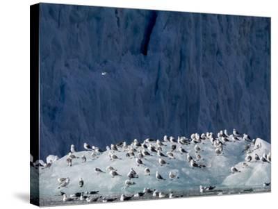Arctic Ocean, Norway, Svalbard. Kittiwake Birds on Iceberg-Jaynes Gallery-Stretched Canvas Print