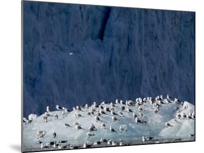 Arctic Ocean, Norway, Svalbard. Kittiwake Birds on Iceberg-Jaynes Gallery-Mounted Photographic Print