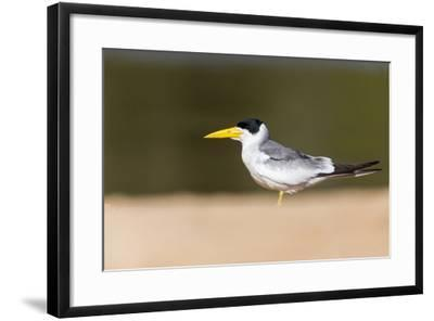 Brazil, Mato Grosso, the Pantanal, Large-Billed Tern on the Beach-Ellen Goff-Framed Photographic Print