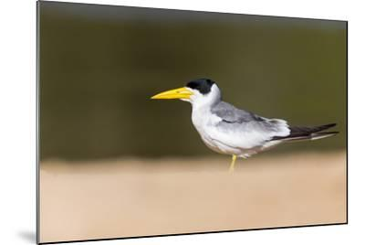 Brazil, Mato Grosso, the Pantanal, Large-Billed Tern on the Beach-Ellen Goff-Mounted Photographic Print