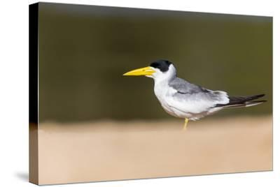 Brazil, Mato Grosso, the Pantanal, Large-Billed Tern on the Beach-Ellen Goff-Stretched Canvas Print
