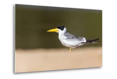Brazil, Mato Grosso, the Pantanal, Large-Billed Tern on the Beach-Ellen Goff-Metal Print