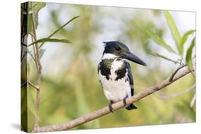 Brazil, Mato Grosso, the Pantanal. Female Amazon Kingfisher on a Branch-Ellen Goff-Stretched Canvas Print