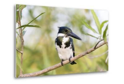 Brazil, Mato Grosso, the Pantanal. Female Amazon Kingfisher on a Branch-Ellen Goff-Metal Print