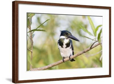 Brazil, Mato Grosso, the Pantanal. Female Amazon Kingfisher on a Branch-Ellen Goff-Framed Photographic Print