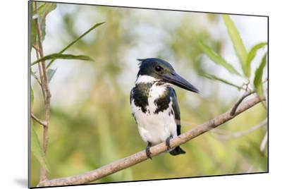 Brazil, Mato Grosso, the Pantanal. Female Amazon Kingfisher on a Branch-Ellen Goff-Mounted Photographic Print