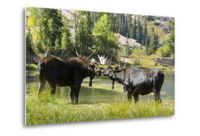 Moose in Uintah Wasatch Cache National Forest, Utah-Howie Garber-Metal Print