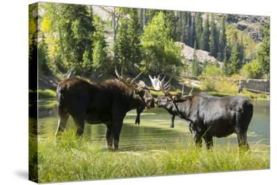 Moose in Uintah Wasatch Cache National Forest, Utah-Howie Garber-Stretched Canvas Print