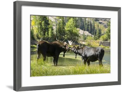 Moose in Uintah Wasatch Cache National Forest, Utah-Howie Garber-Framed Photographic Print