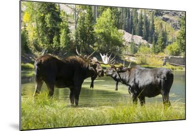 Moose in Uintah Wasatch Cache National Forest, Utah-Howie Garber-Mounted Photographic Print