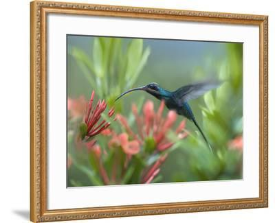 Green Hermit Hummingbird Male Feeding at a Flower-Tim Fitzharris-Framed Photographic Print