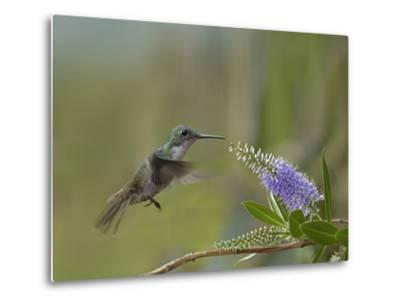 Immature Green Crowned Woodnymph Hummingbird at a Flower-Tim Fitzharris-Metal Print