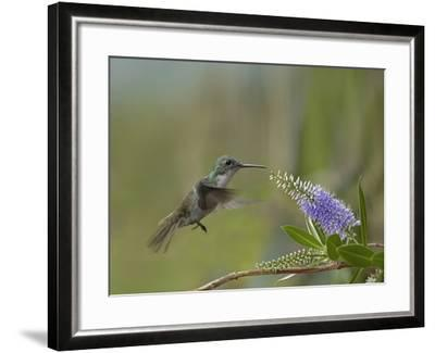 Immature Green Crowned Woodnymph Hummingbird at a Flower-Tim Fitzharris-Framed Photographic Print