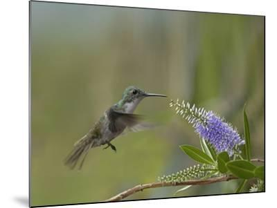 Immature Green Crowned Woodnymph Hummingbird at a Flower-Tim Fitzharris-Mounted Photographic Print