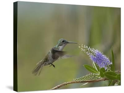Immature Green Crowned Woodnymph Hummingbird at a Flower-Tim Fitzharris-Stretched Canvas Print