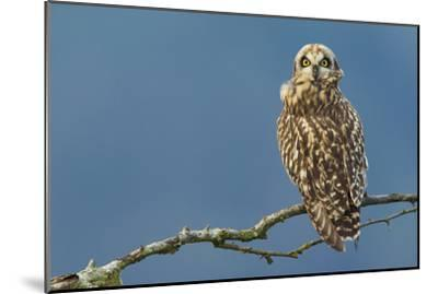 Short-Eared Owl-Ken Archer-Mounted Photographic Print
