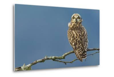Short-Eared Owl-Ken Archer-Metal Print