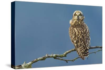 Short-Eared Owl-Ken Archer-Stretched Canvas Print