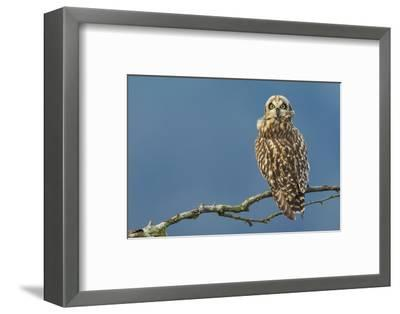 Short-Eared Owl-Ken Archer-Framed Photographic Print