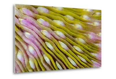 Indonesia, West Papua, Raja Ampat. Close-Up of Hard Coral-Jaynes Gallery-Metal Print