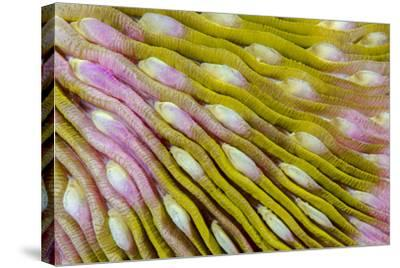 Indonesia, West Papua, Raja Ampat. Close-Up of Hard Coral-Jaynes Gallery-Stretched Canvas Print