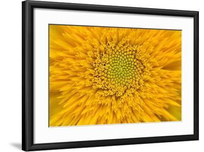 Maine, Harpswell. Sunflower Detail-Jaynes Gallery-Framed Photographic Print