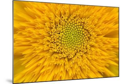 Maine, Harpswell. Sunflower Detail-Jaynes Gallery-Mounted Photographic Print