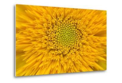 Maine, Harpswell. Sunflower Detail-Jaynes Gallery-Metal Print