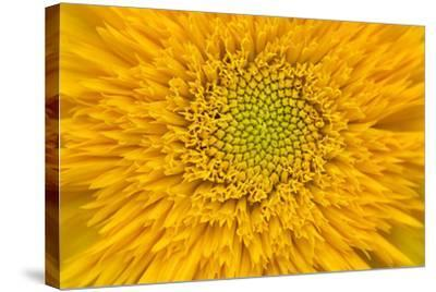 Maine, Harpswell. Sunflower Detail-Jaynes Gallery-Stretched Canvas Print