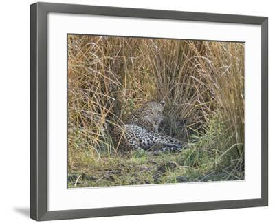 Africa, Zambia. Leopard Resting in Grass-Jaynes Gallery-Framed Photographic Print