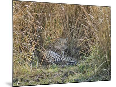 Africa, Zambia. Leopard Resting in Grass-Jaynes Gallery-Mounted Photographic Print