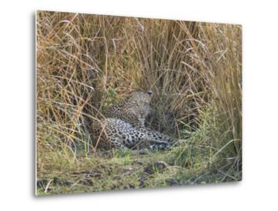Africa, Zambia. Leopard Resting in Grass-Jaynes Gallery-Metal Print