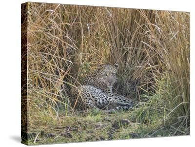 Africa, Zambia. Leopard Resting in Grass-Jaynes Gallery-Stretched Canvas Print