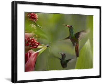 Two Rufous-Tailed Hummingbirds-Tim Fitzharris-Framed Photographic Print