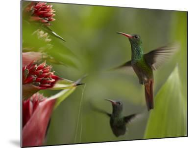 Two Rufous-Tailed Hummingbirds-Tim Fitzharris-Mounted Photographic Print