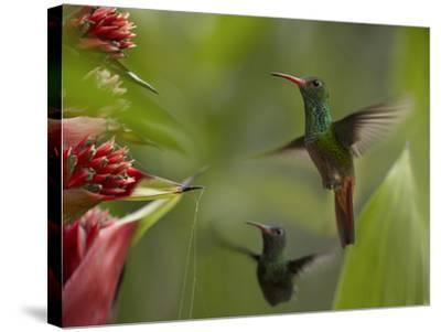 Two Rufous-Tailed Hummingbirds-Tim Fitzharris-Stretched Canvas Print